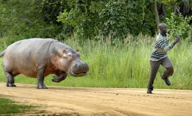 huyendo del hipopotamo
