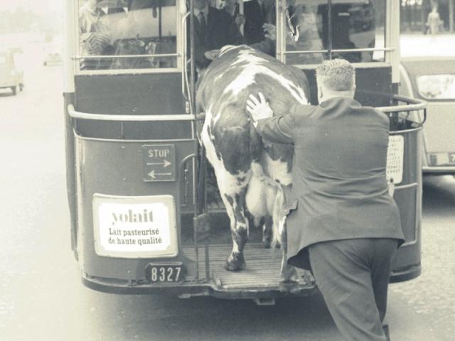 montar la vaca en el bus